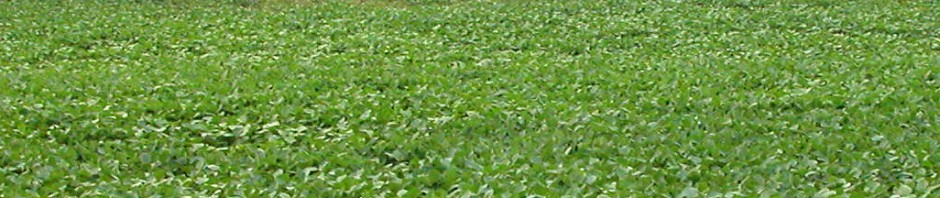 picture of soybean field with dandelion damage