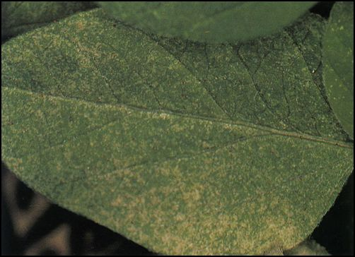 leaf stippling
