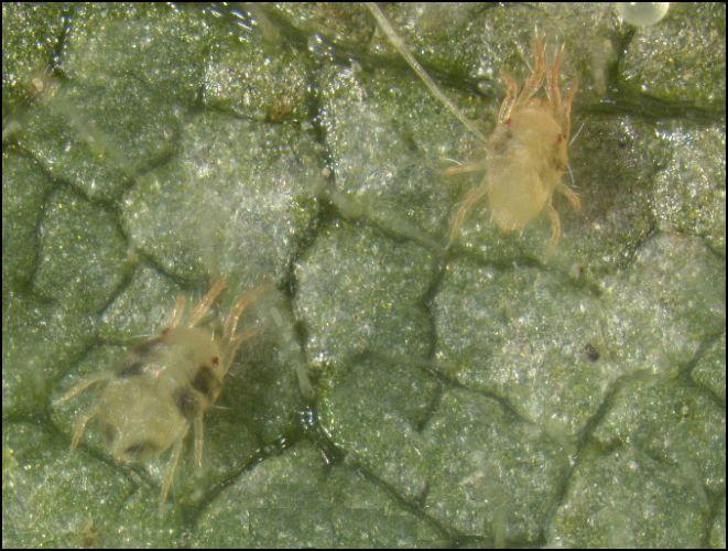 spider mite adults
