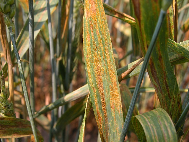Figure 3.  Stripe rust on wheat.  Photo Credit: Craig Grau.