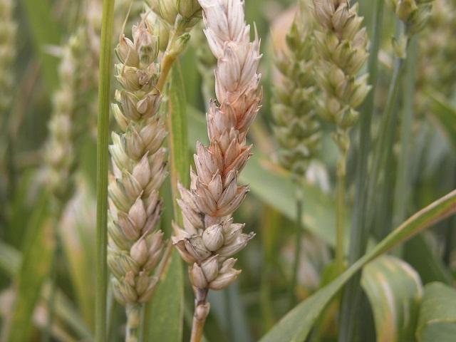 Figure 5.  Entire wheat heads with symptoms of Fusarium head blight.  Photo credit: Craig Grau.