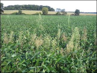 Figure 1. Horseweed plants late in the 2012 growing season that were not controlled with a previous postemergence glyphosate application in a no-till soybean field in Jefferson County, Wisconsin.