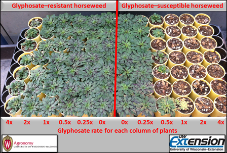 Figure 2. Horseweed plants (glyphosate-resistant) grown from the seed collected in Jefferson County, Wisconsin compared to a glyphosate-susceptible population and their response to postemergence at glyphosate in the greenhouse at rates ranging from 0x to 4x with 1x being 0.87 kg ae ha-1 (22 fl oz product ac-1).  Plants were sprayed when horseweed rosettes measured 2.5 to 5 cm (1 to 2 inches) in diameter.