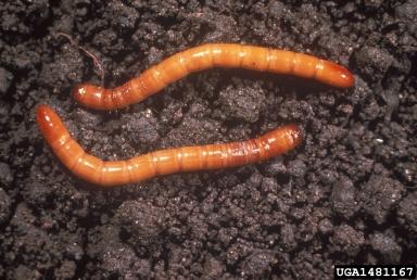 Wireworm larvae. Photo Credit: Frank Peairs, Colorado State University, Bugwood.org