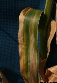 Figure 2. Foliar symptoms of Goss's wilt on a corn leaf. Photo Credit: Larry Osborne, Bugwood.org.