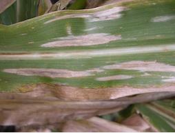 NCLB Lesions on a corn leaf