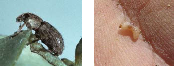 Figure 2 Adult (left) and larvae (right) of Clover Root Curculio Photo credit: Bob Hammon, Colorado State University, Bugwood.org