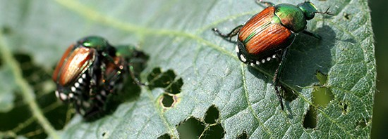 Japanese beetle picture