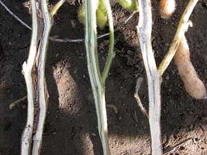 Browning of the internal stem (left) is diagnostic for BSR. The middle stem may be developing symptoms. Compare to healthy, white pith in the stem on the right.