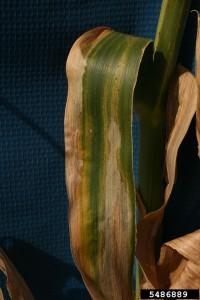 Figure 1. Foliar symptoms of Goss's wilt on a corn leaf. Photo Credit: Larry Osborne, Bugwood.org.