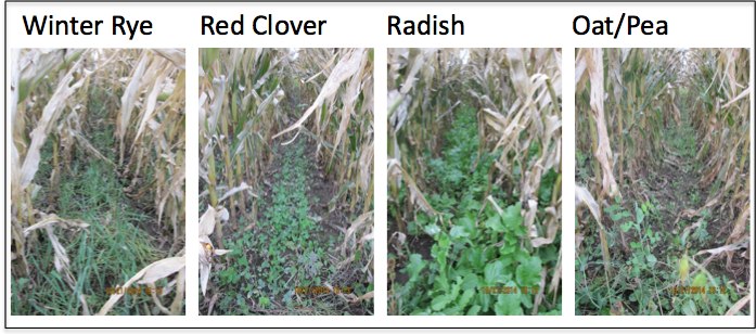 Interseeding cover crops into V5 corn – Integrated Pest and
