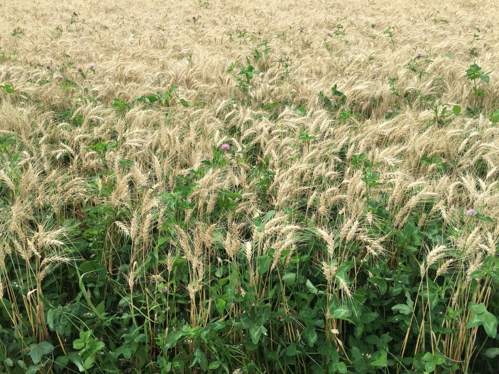 Excessive clover seeding rate may create competition with wheat.