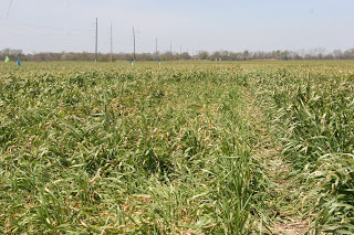 Image 4. Subtle difference is crop growth stage led to severe lodging due to freeze injury.