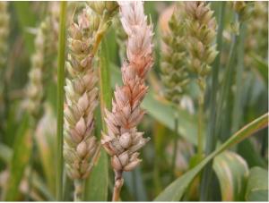 Figure 1. Fusarium head blight on a wheat head