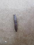 Marsh Slug